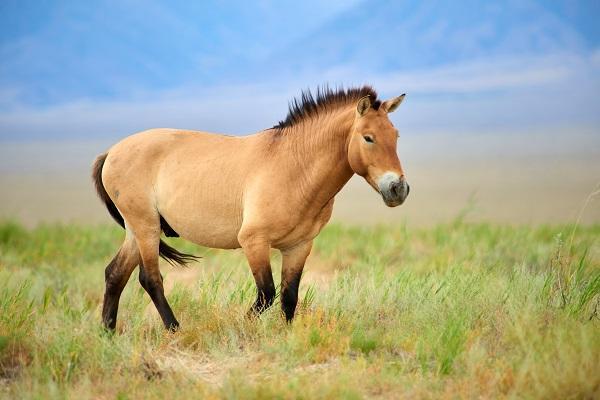 Die Rückkehr von Przewalski Pferden in der Mongolei